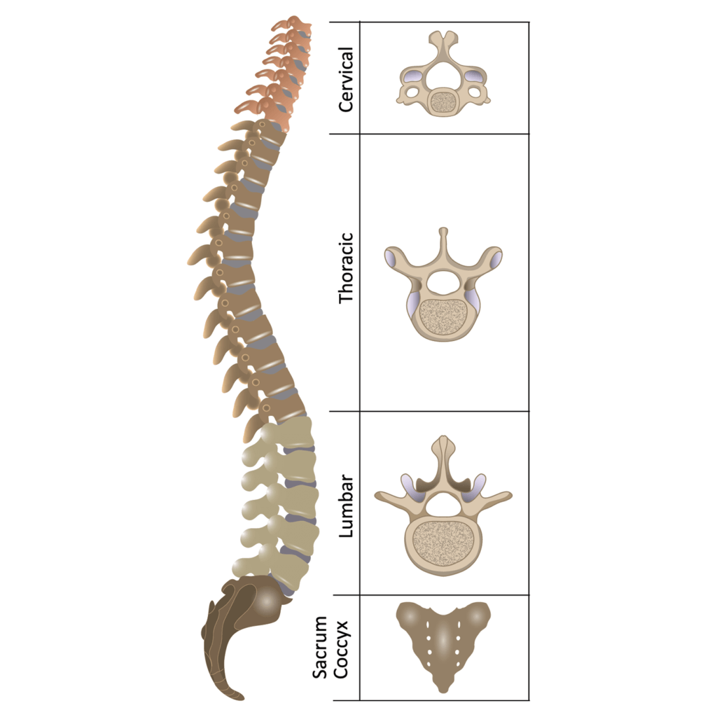 An anatomy diagram of the human spine